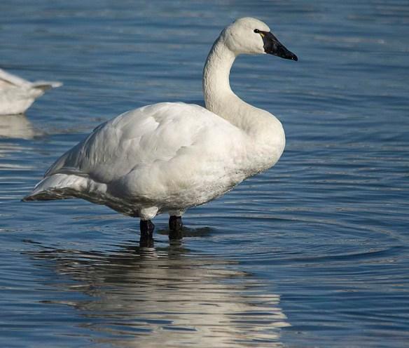 Tundra Swan 2019-25