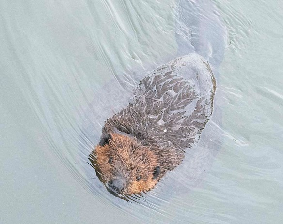 Beaver 148