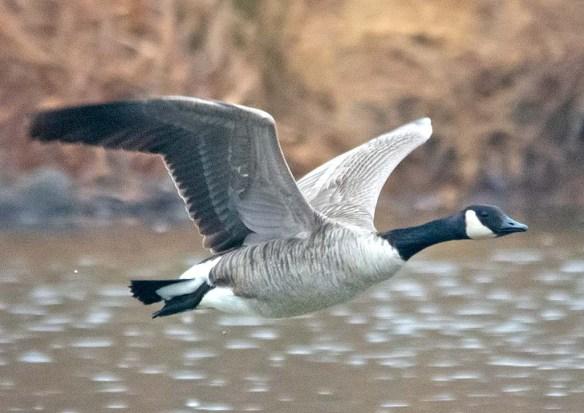 Canada Goose 2019-14