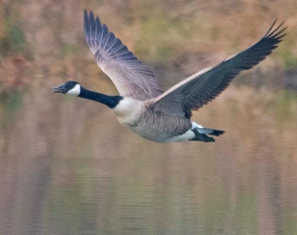 Canada Goose 2019-17