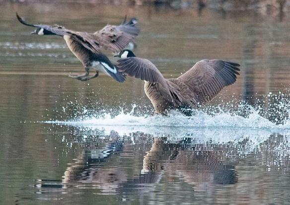 Canada Goose 2019-19
