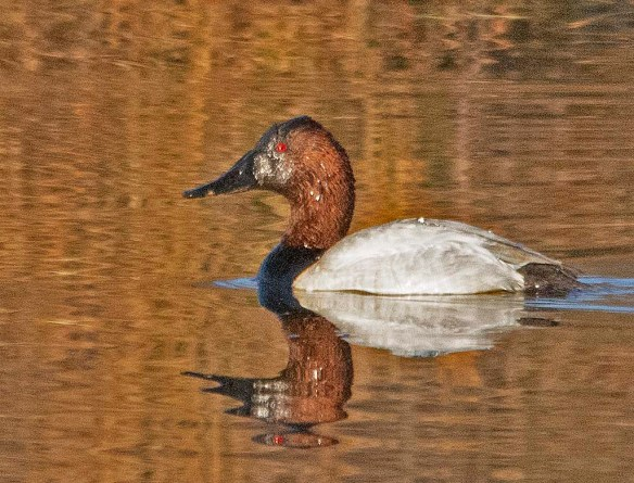 Canvasback 2019-33