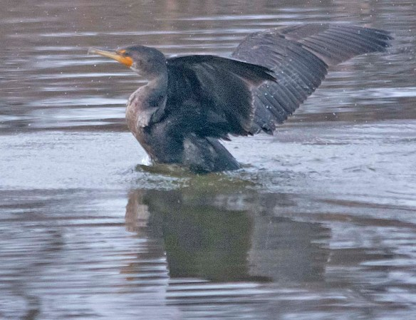 Double Crested Cormorant 2019-18