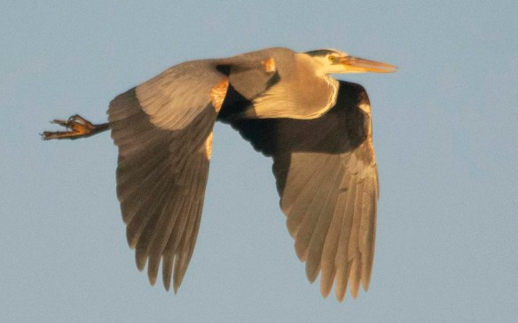 Great Blue Heron 2019-23