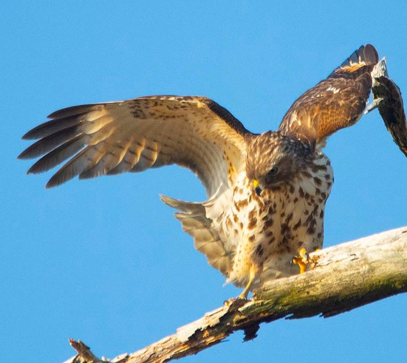 Red Tailed Hawk 2019-5