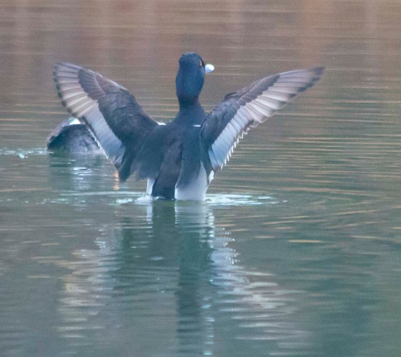 Ring Necked Duck 2019-8