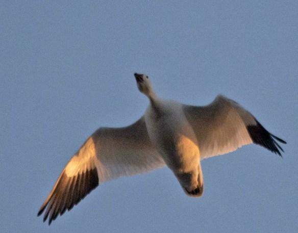 Snow Goose 2019-2