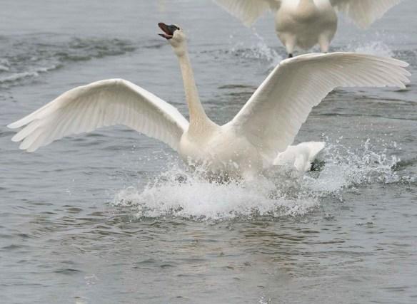 Tundra Swan 2019-32