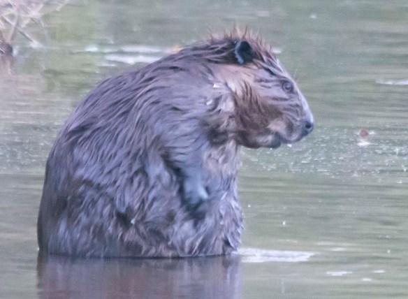 Beaver 156