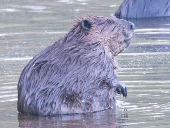 Beaver 157