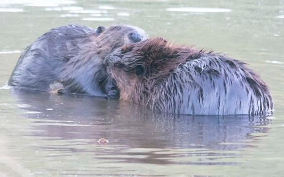 Beaver 158