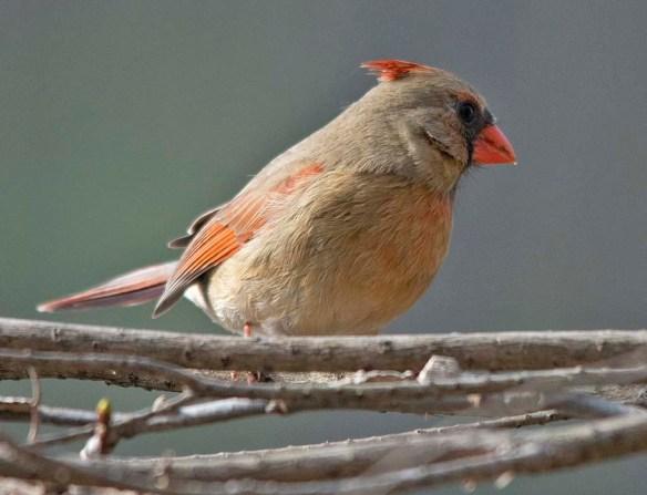 Cardinal 2019-1