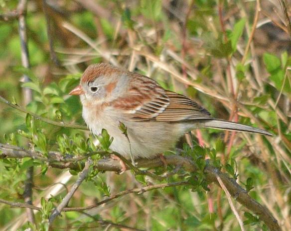 Field Sparrow 2019-2
