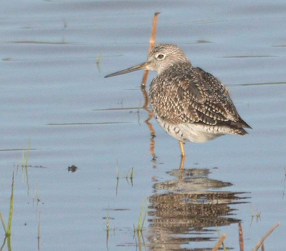 Greater Yellowlegs 2019-4