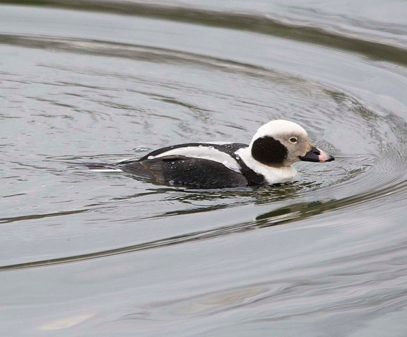 Long Tailed Duck 2019-47