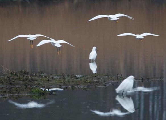 Snowy Egret 2019-1