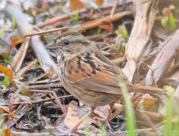 Swamp Sparrow 2019-1