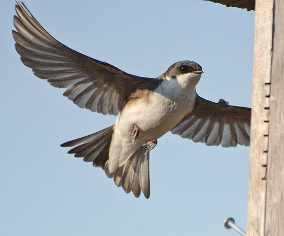 Tree Swallow 2019-10