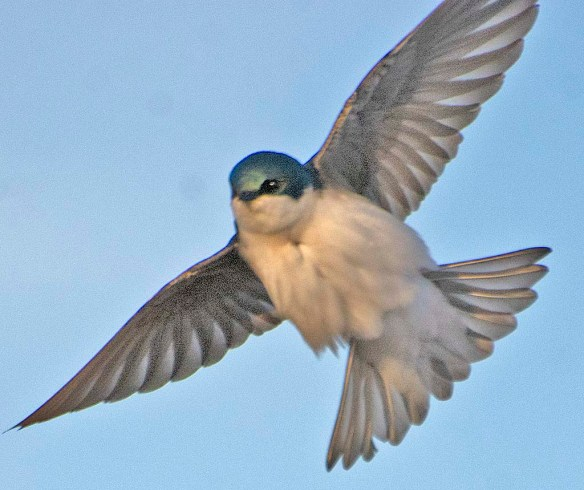 Tree Swallow 2019-4