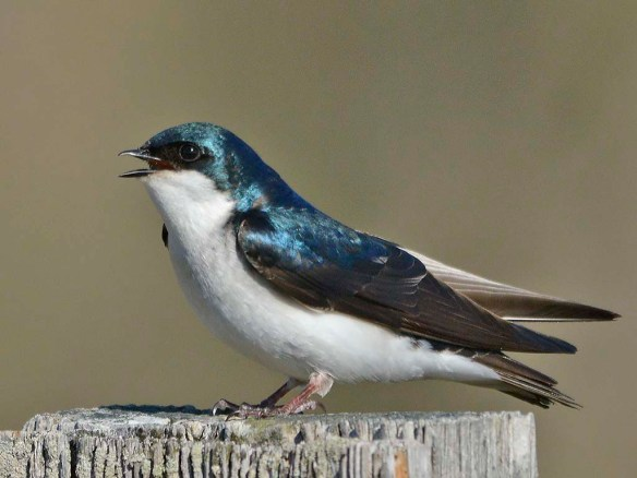 Tree Swallow 2019-8