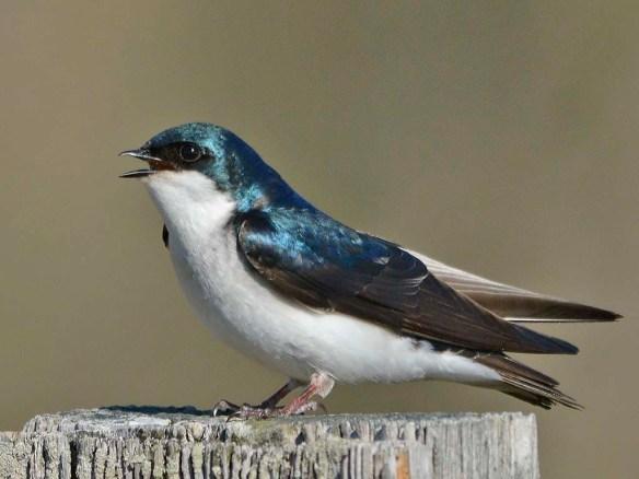 Tree Swallow 2019-8