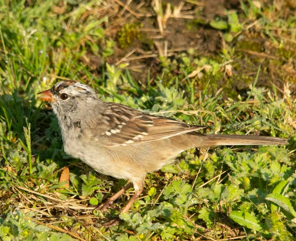 White Crowned Sparrow 2019-2