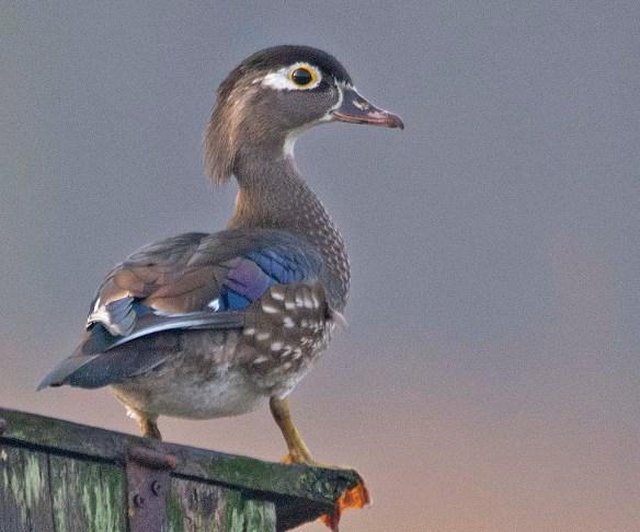 Wood Duck 2019-51