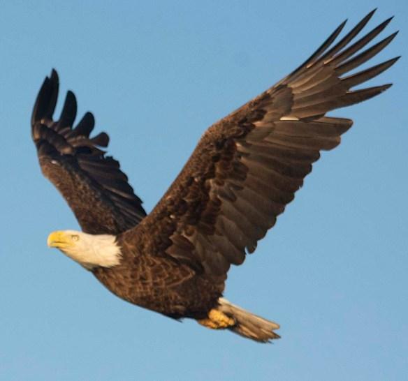 Bald Eagle 2019-32