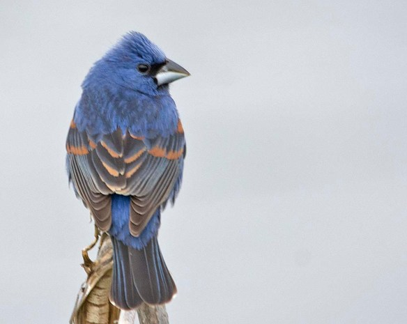 Blue Grosbeak 2019-2 - Copy