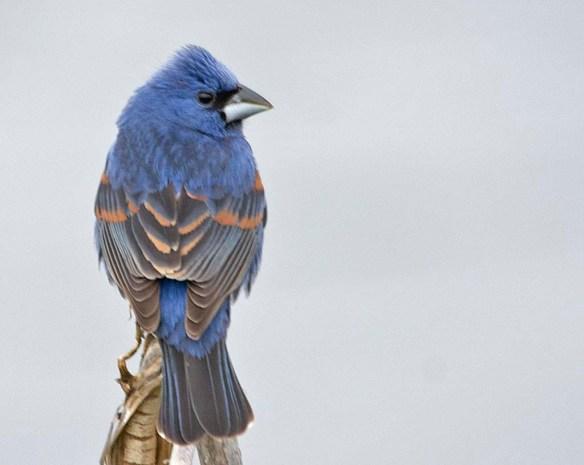Blue Grosbeak 2019-2 - Copy