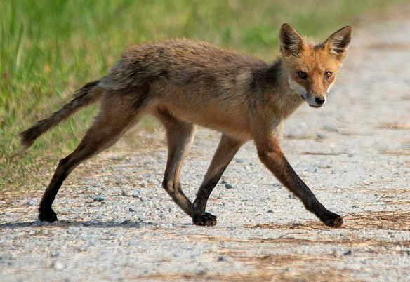 Fox 117
