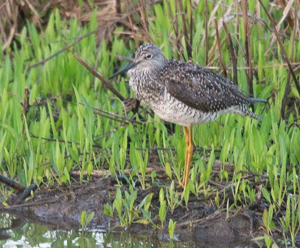 Greater Yellowlegs 2019-5 - Copy