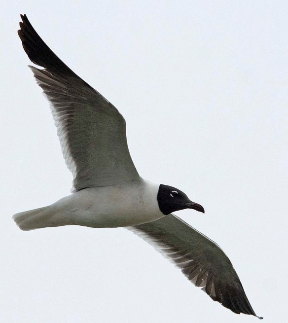 Laughing Gull 2019-1