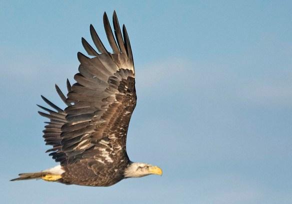 Bald Eagle 2019-38