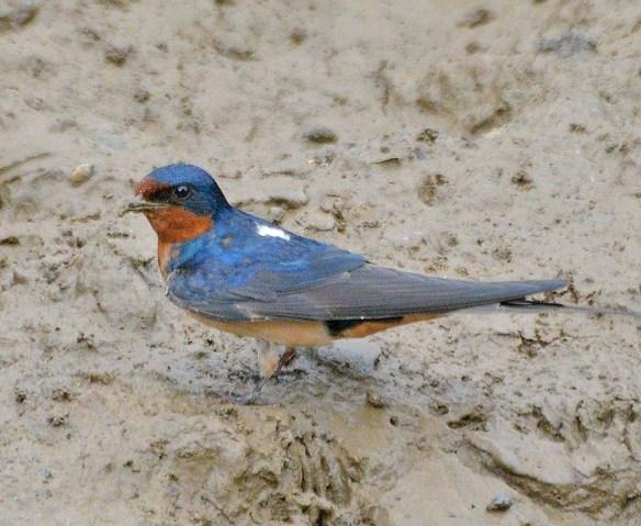 Barn Swallow 2019-7