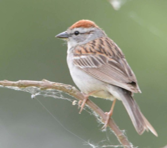 Chipping Sparrow 2019-3