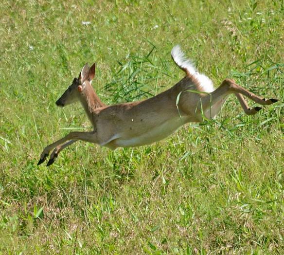 Deer 59