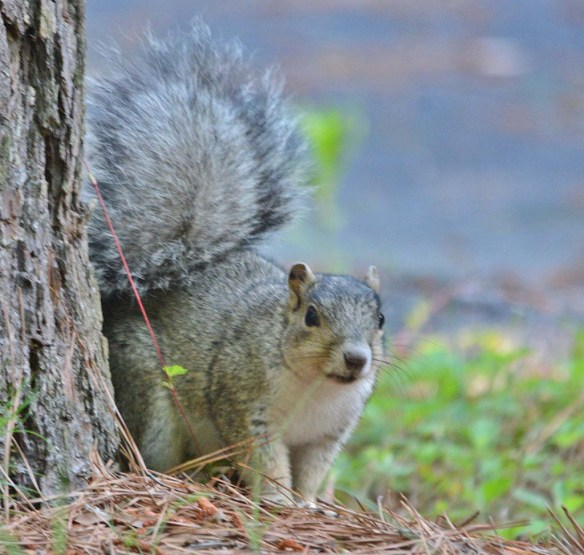 Delmarva Fox Squirrel 32