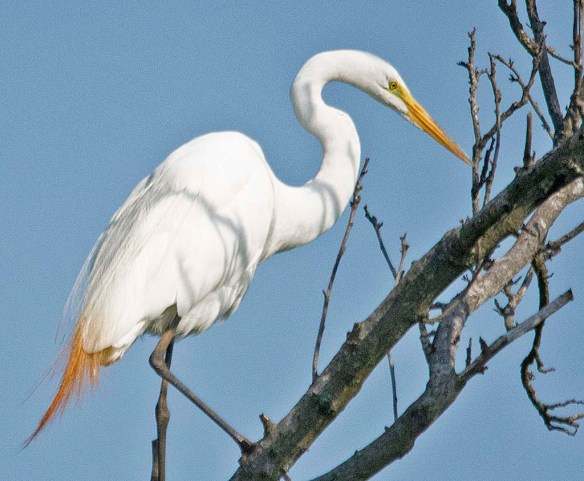 Great Egret 2019-101