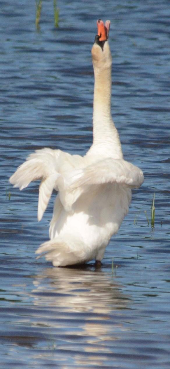 Mute Swan 2019-1