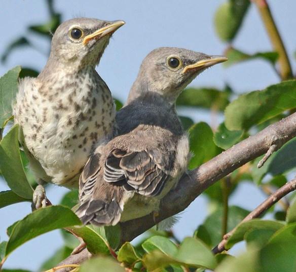 Northern Mockingbird 2019-1