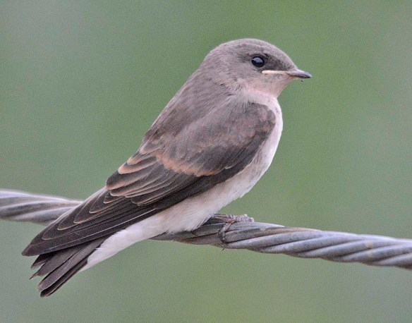 Northern Rough Winged Swallow 2019-5