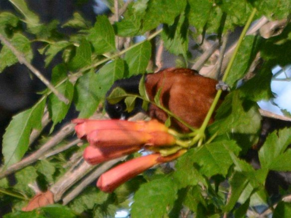 Orchard Oriole 2019-1