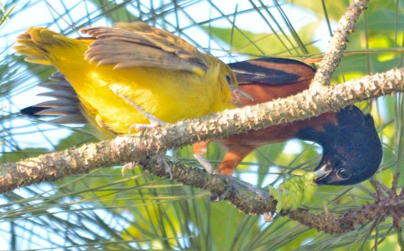 Orchard Oriole 2019-5