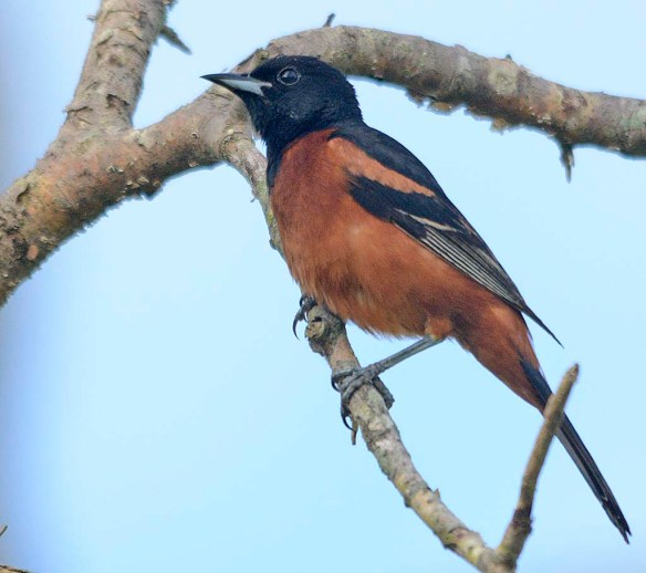 Orchard Oriole 2019-8