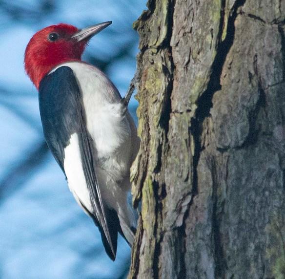 Red Headed Woodpecker 2019-1