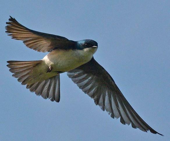 Tree Swallow 2019-6