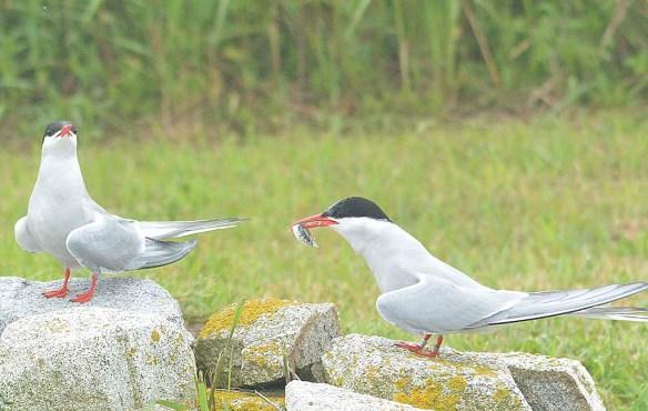 Arctic Tern 2019-1
