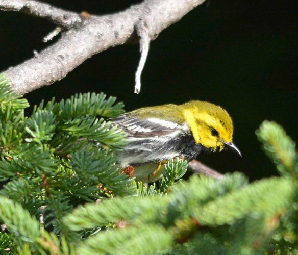 Black Throated Green Warbler 2019-1