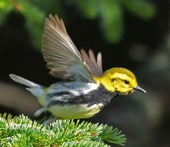 Black Throated Green Warbler 2019-2